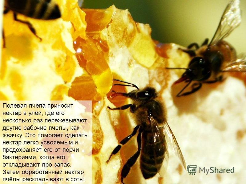 Пчёлы собирают нектар с цветов с помощью хоботка, засасывая его язычком в специальную «сумку», которая называется медовый зобик. На стенках медового зобика находятся железы, вырабатывающие особые вещества, которые начинают превращение нектара в мёд.