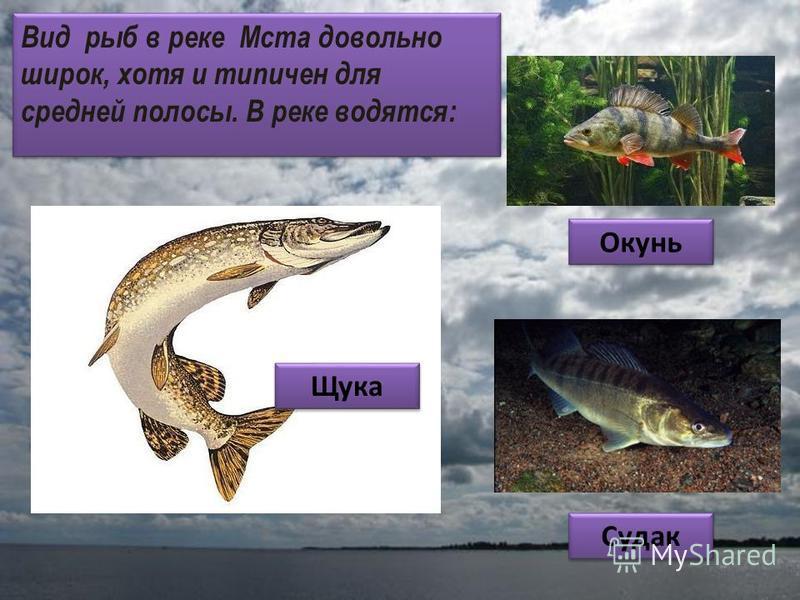 Вид рыб в реке Мста довольно широк, хотя и типичен для средней полосы. В реке водятся: Щука Окунь Судак