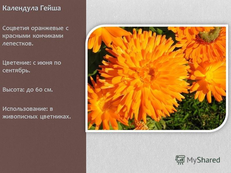 Календула Гейша Соцветия оранжевые с красными кончиками лепестков. Цветение: с июня по сентябрь. Высота: до 60 см. Использование: в живописных цветниках.