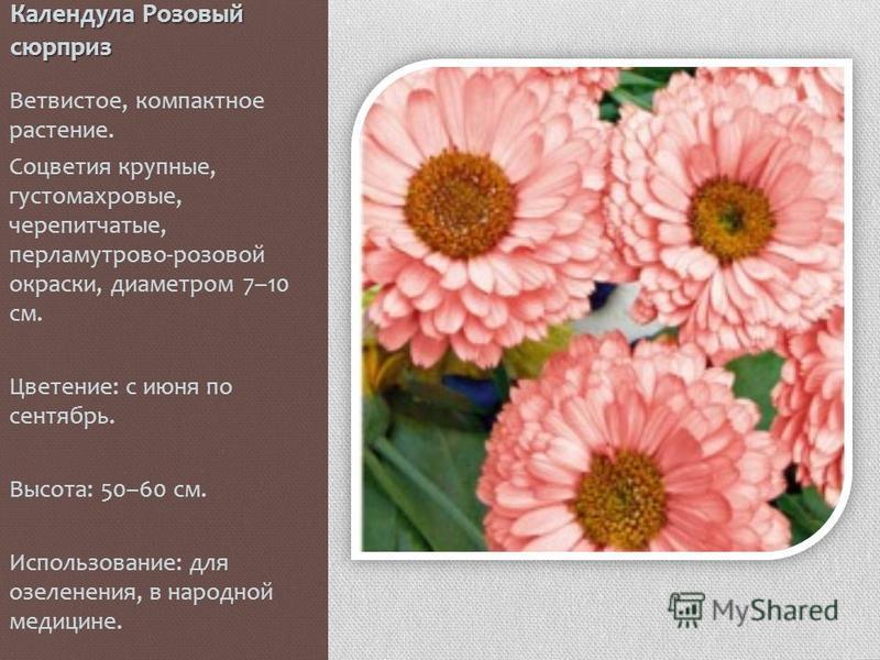 Календула Розовый сюрприз Ветвистое, компактное растение. Соцветия крупные, густомахровые, черепитчатые, перламутрово-розовой окраски, диаметром 7–10 см. Цветение: с июня по сентябрь. Высота: 50–60 см. Использование: для озеленения, в народной медици