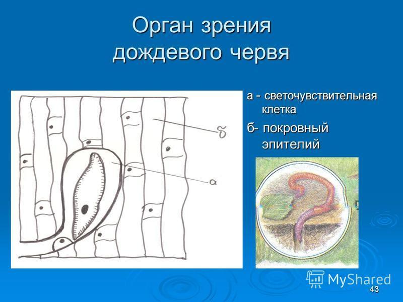 Орган зрения дождевого червя а - светочувствительная клетка б- покровный эпителий 43