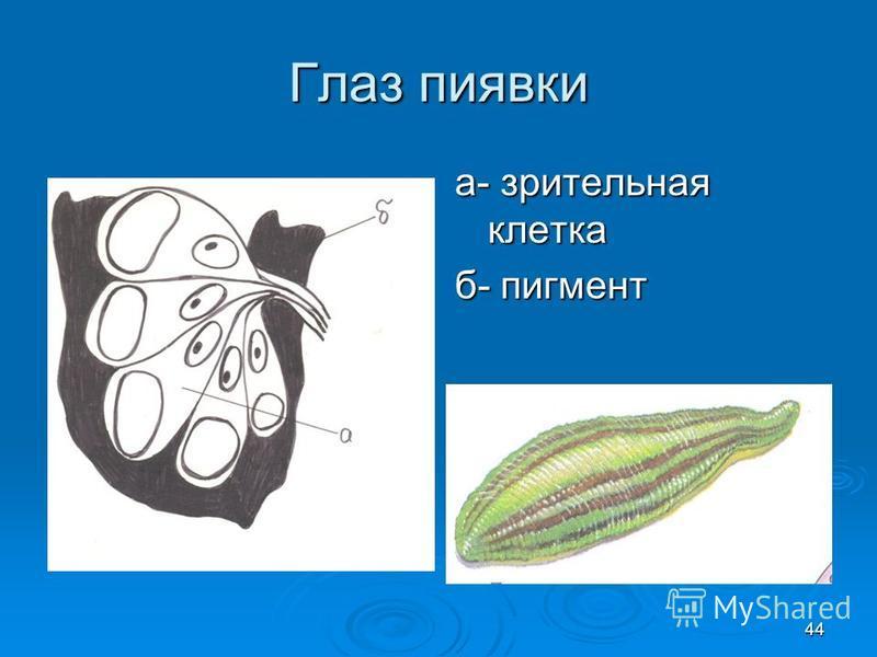 Глаз пиявки а- зрительная клетка б- пигмент 44