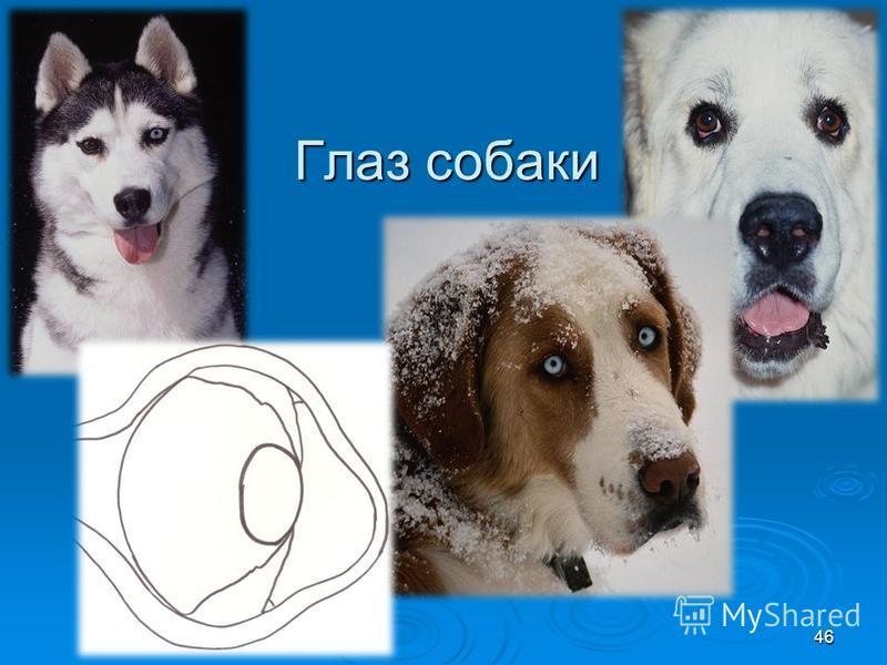 Глаз собаки 46
