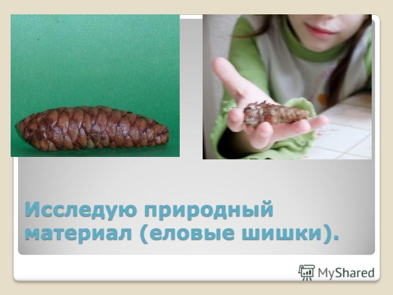 Исследую природный материал (еловые шишки).