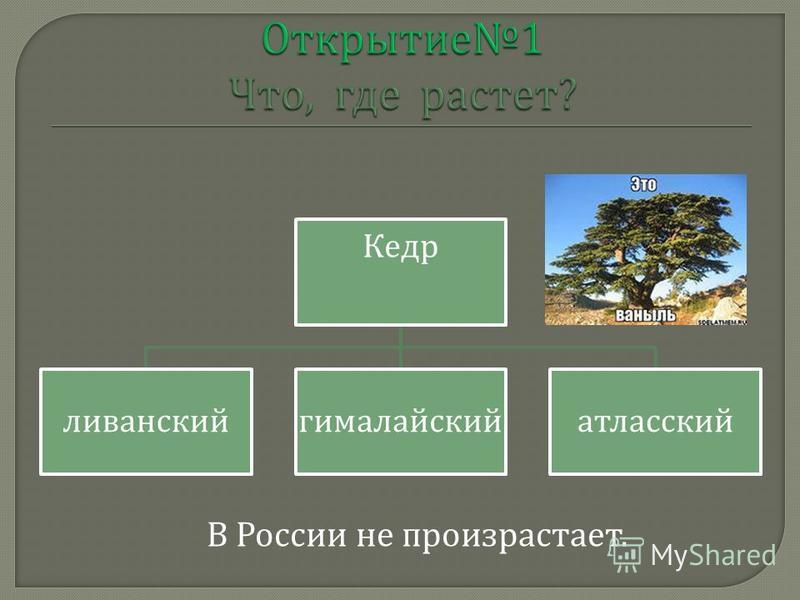 Кедр ливанский гималайский атласский В России не произрастает.