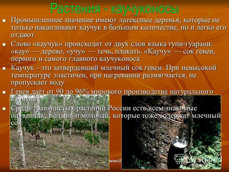 Бочкова И.А. Промышленное значение имеют латексные деревья, которые не только накапливают какчук в большом количестве, но и легко его отдают Промышленное значение имеют латексные деревья, которые не только накапливают какчук в большом количестве, но