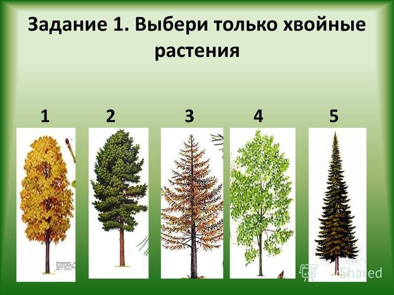 Задание 1. Выбери только хвойные растения 42351