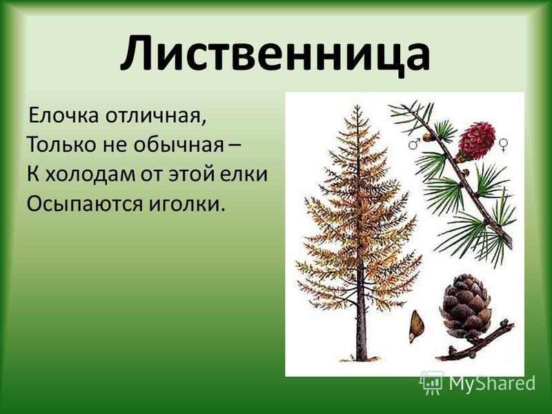 Лиственница Елочка отличная, Только не обычная – К холодам от этой елки Осыпаются иголки.