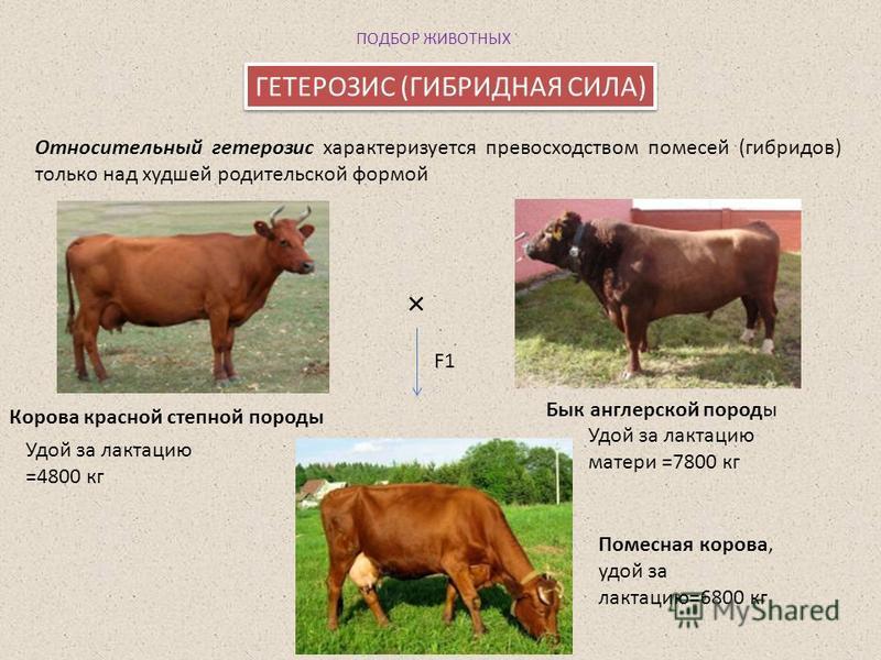 Гетерозис у коровы