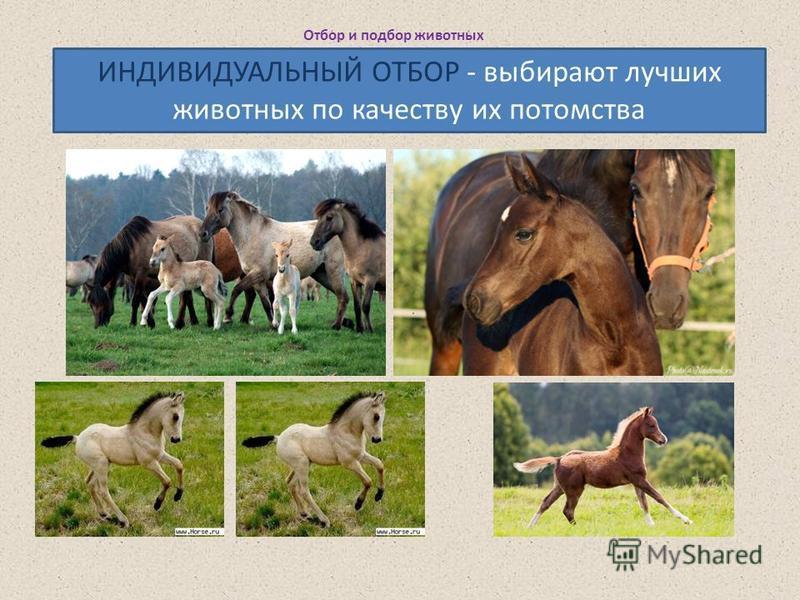 Отбор и подбор животных ИНДИВИДУАЛЬНЫЙ ОТБОР - выбирают лучших животных по качеству их потомства