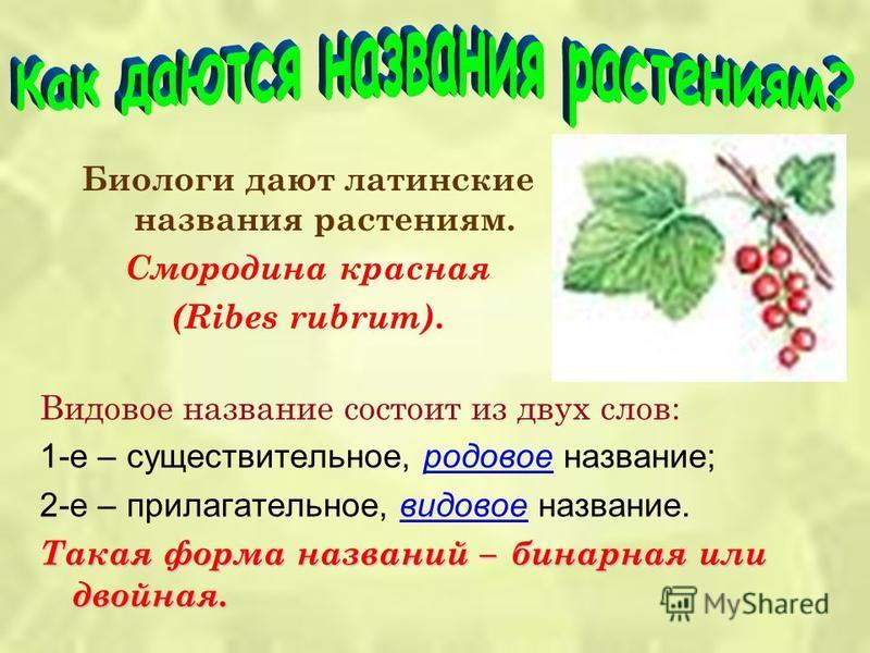 Биологи дают латинские названия растениям. Смородина красная (Ribes rubrum). Видовое название состоит из двух слов: 1-е – существительное, родовое название; 2-е – прилагательное, видовое название. Такая форма названий – бинарная или двойная.