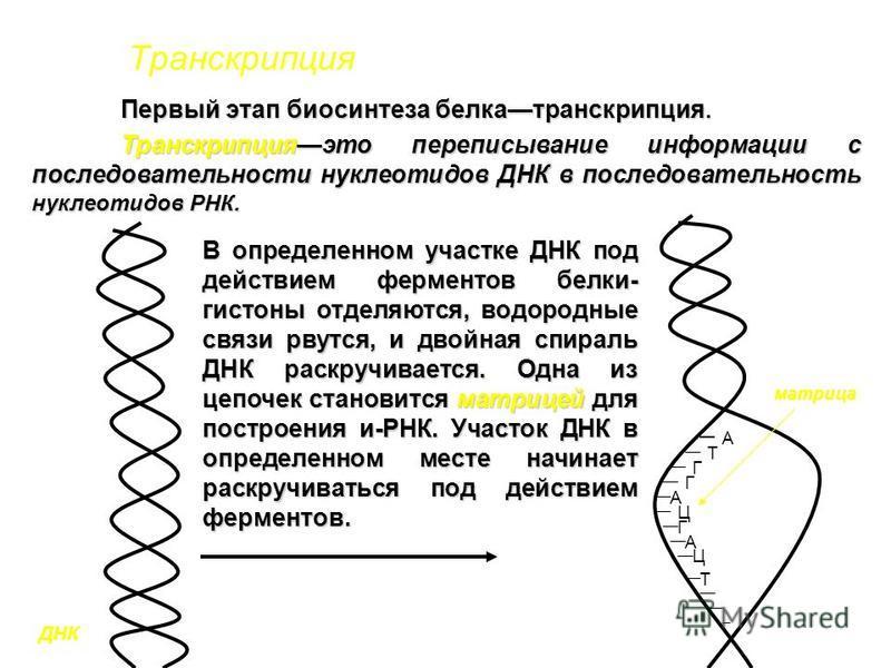 Транскрипция Первый этап биосинтеза белка транскрипция. Транскрипцияэто переписывание информации с последовательности нуклеотидов ДНК в последовательность нуклеотидов РНК. А Т Г Г А Ц Г А Ц Т В определенном участке ДНК под действием ферментов белки-