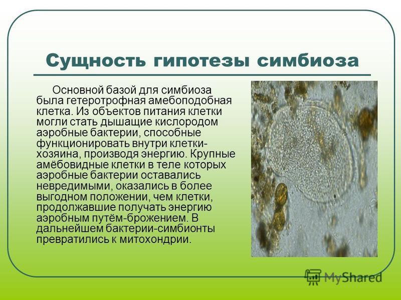 Сущность гипотезы симбиоза Основной базой для симбиоза была гетеротрофная амебоподобная клетка. Из объектов питания клетки могли стать дышащие кислородом аэробные бактерии, способные функционировать внутри клетки- хозяина, производя энергию. Крупные
