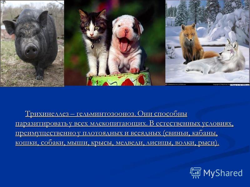 Трихинеллез – гельминтозооноз. Они способны паразитировать у всех млекопитающих. В естественных условиях, преимущественно у плотоядных и всеядных (свиньи, кабаны, кошки, собаки, мыши, крысы, медведи, лисицы, волки, рыси).