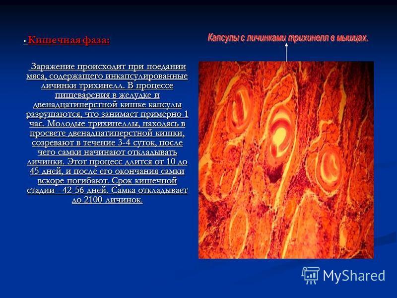 Кишечная фаза: Кишечная фаза: Заражение происходит при поедании мяса, содержащего инкапсулированные личинки трихинелл. В процессе пищеварения в желудке и двенадцатиперстной кишке капсулы разрушаются, что занимает примерно 1 час. Молодые трихинеллы, н