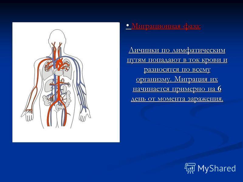 Миграционная фаза: Миграционная фаза: Личинки по лимфатическим путям попадают в ток крови и разносятся по всему организму. Миграция их начинается примерно на 6 день от момента заражения.