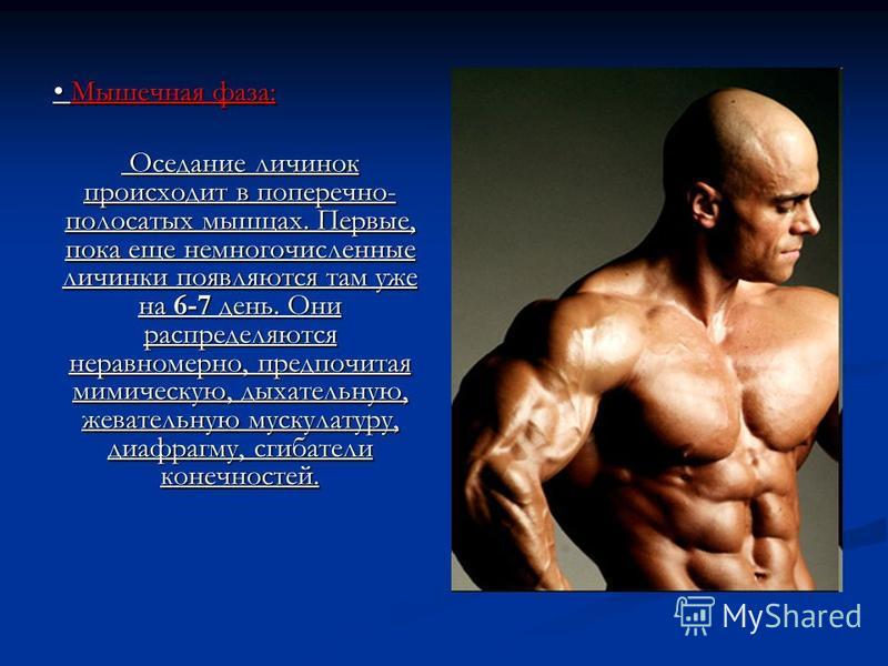 Мышечная фаза: Мышечная фаза: Оседание личинок происходит в поперечно- полосатых мышцах. Первые, пока еще немногочисленные личинки появляются там уже на 6-7 день. Они распределяются неравномерно, предпочитая мимическую, дыхательную, жевательную муску