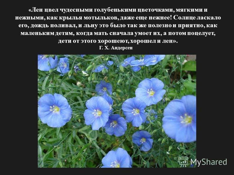 « Лен цвел чудесными голубенькими цветочками, мягкими и нежными, как крылья мотыльков, даже еще нежнее! Солнце ласкало его, дождь поливал, и льну это было так же полезно и приятно, как маленьким детям, когда мать сначала умоет их, а потом поцелует, д