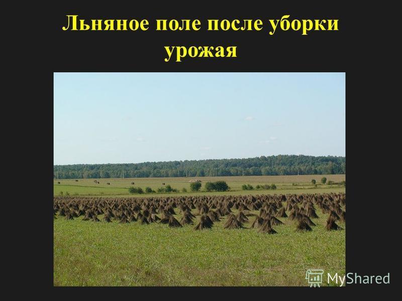 Льняное поле после уборки урожая