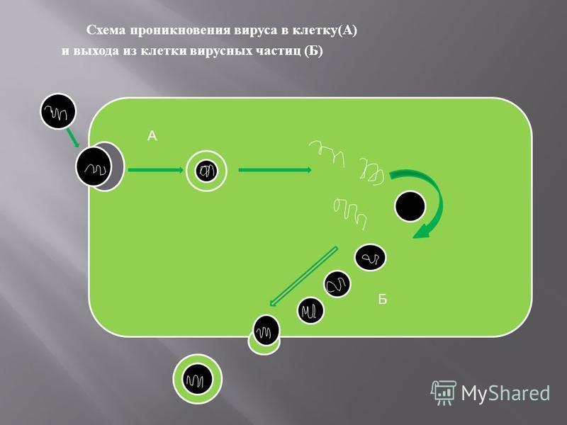 Схема проникновения вируса в клетку ( А ) и выхода из клетки вирусных частиц ( Б ) А Б