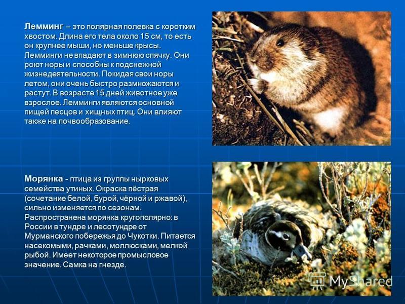 Лемминг – это полярная полевка с коротким хвостом. Длина его тела около 15 см, то есть он крупнее мыши, но меньше крысы. Лемминги не впадают в зимнюю спячку. Они роют норы и способны к подснежной жизнедеятельности. Покидая свои норы летом, они очень