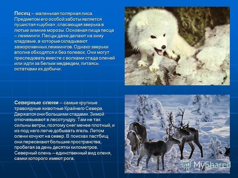Песец – маленькая полярная лиса. Предметом его особой заботы является пушистая «шубка», спасающая зверька в лютые зимние морозы. Основная пища песца – лемминги. Песцы даже делают на зиму кладовые, в которые складывают замороженных леммингов. Однако з