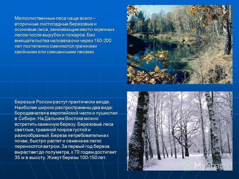 Мелколиственные леса чаще всего – вторичные листопадные березовые и осиновые леса, занимающие место коренных лесов после вырубок и пожаров. Без вмешательства человека они через 150-200 лет постепенно сменяются прежними хвойными или смешанными лесами.