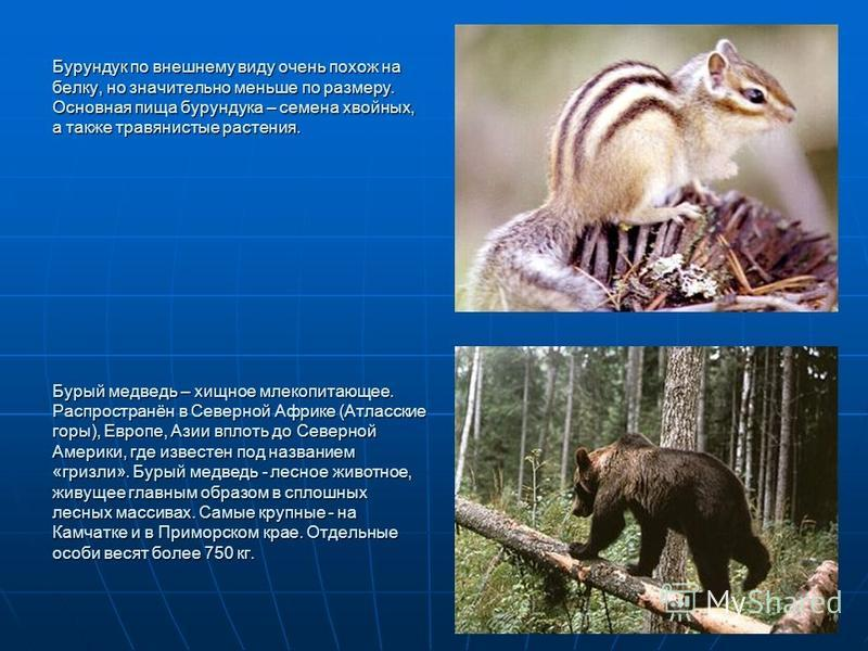 Бурундук по внешнему виду очень похож на белку, но значительно меньше по размеру. Основная пища бурундука – семена хвойных, а также травянистые растения. Бурый медведь – хищное млекопитающее. Распространён в Северной Африке (Атласские горы), Европе,