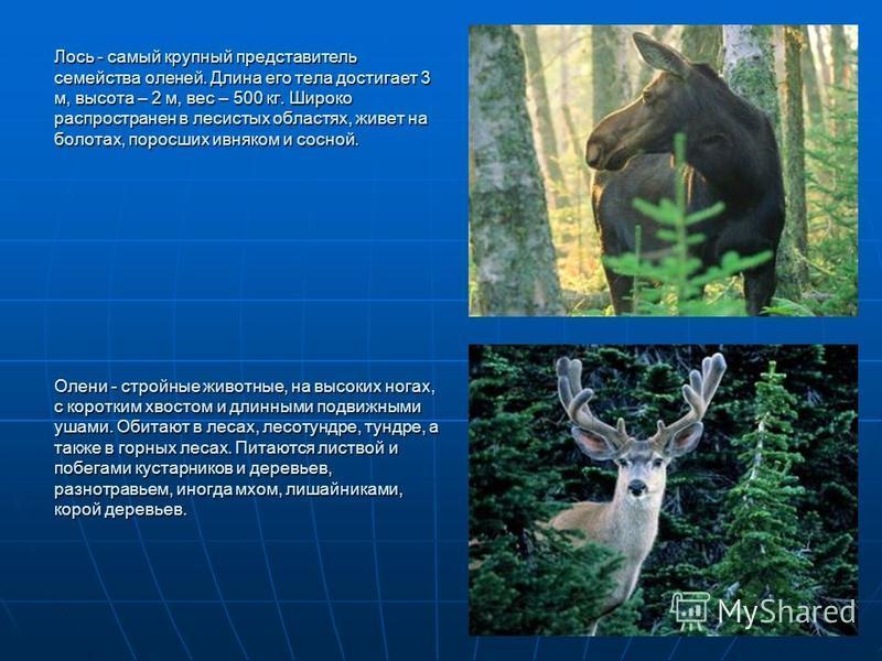 Лось - самый крупный представитель семейства оленей. Длина его тела достигает 3 м, высота – 2 м, вес – 500 кг. Широко распространен в лесистых областях, живет на болотах, поросших ивняком и сосной. Олени - стройные животные, на высоких ногах, с корот