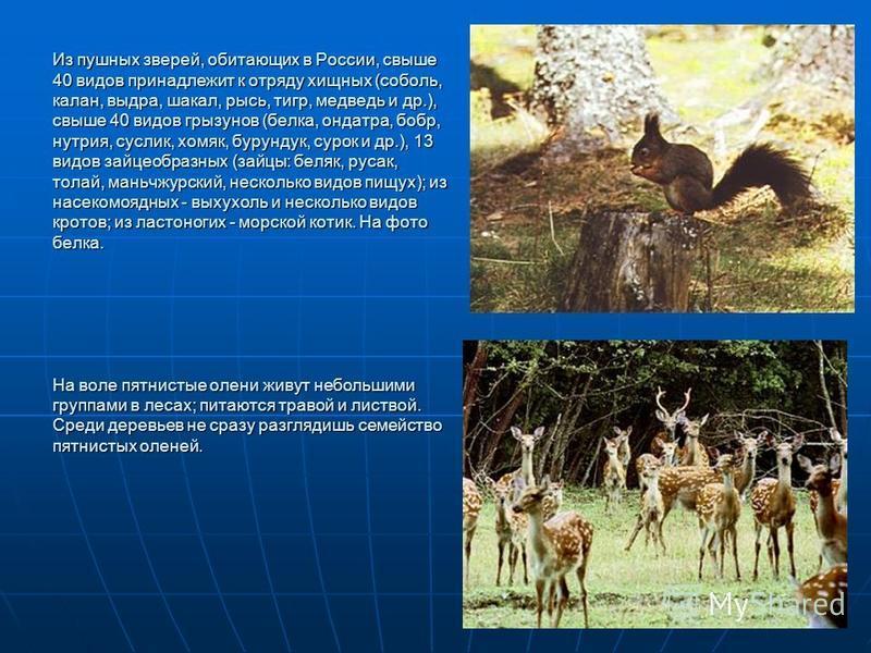 Из пушных зверей, обитающих в России, свыше 40 видов принадлежит к отряду хищных (соболь, калан, выдра, шакал, рысь, тигр, медведь и др.), свыше 40 видов грызунов (белка, ондатра, бобр, нутрия, суслик, хомяк, бурундук, сурок и др.), 13 видов зайцеобр