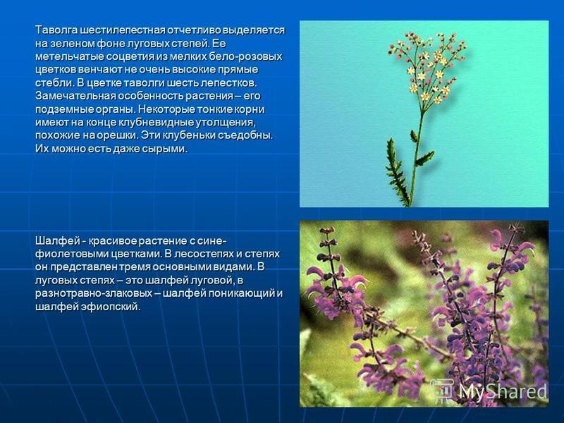 Таволга шестилепестная отчетливо выделяется на зеленом фоне луговых степей. Ее метельчатые соцветия из мелких бело-розовых цветков венчают не очень высокие прямые стебли. В цветке таволги шесть лепестков. Замечательная особенность растения – его подз