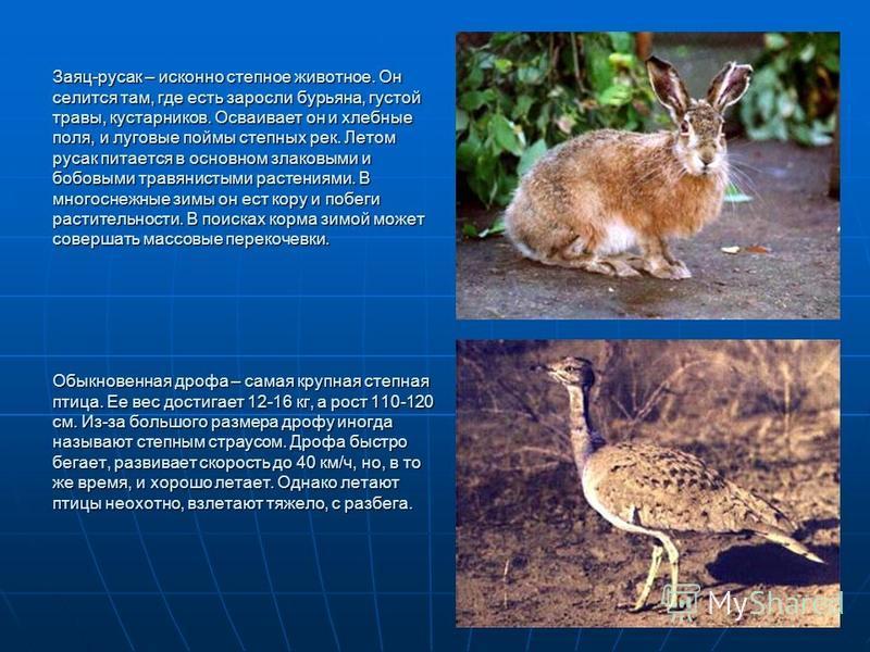 Заяц-русак – исконно степное животное. Он селится там, где есть заросли бурьяна, густой травы, кустарников. Осваивает он и хлебные поля, и луговые поймы степных рек. Летом русак питается в основном злаковыми и бобовыми травянистыми растениями. В мног
