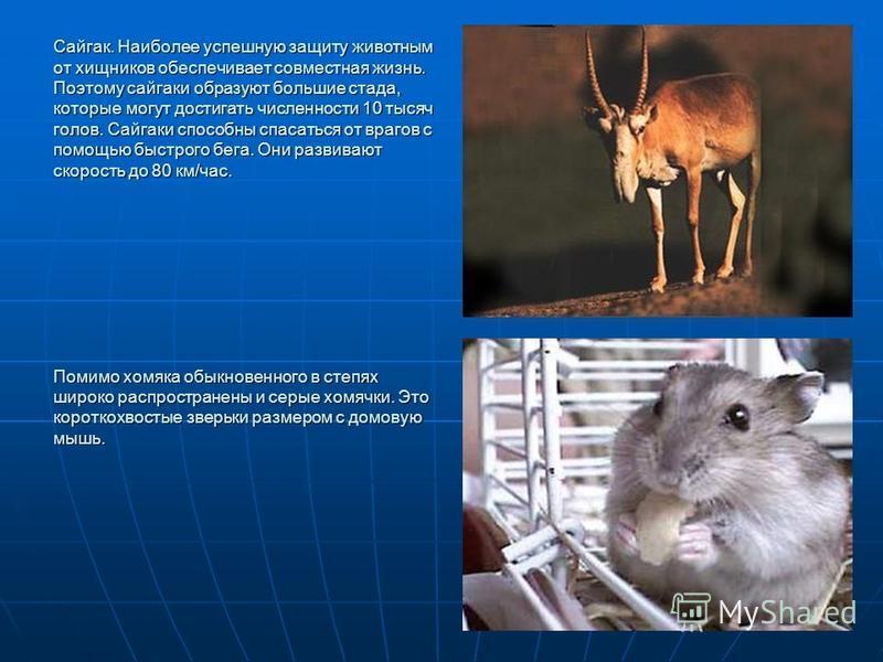 Сайгак. Наиболее успешную защиту животным от хищников обеспечивает совместная жизнь. Поэтому сайгаки образуют большие стада, которые могут достигать численности 10 тысяч голов. Сайгаки способны спасаться от врагов с помощью быстрого бега. Они развива