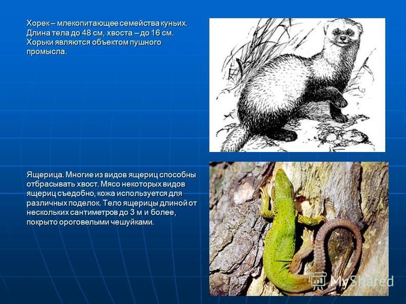 Хорек – млекопитающее семейства куньих. Длина тела до 48 см, хвоста – до 16 см. Хорьки являются объектом пушного промысла. Ящерица. Многие из видов ящериц способны отбрасывать хвост. Мясо некоторых видов ящериц съедобно, кожа используется для различн
