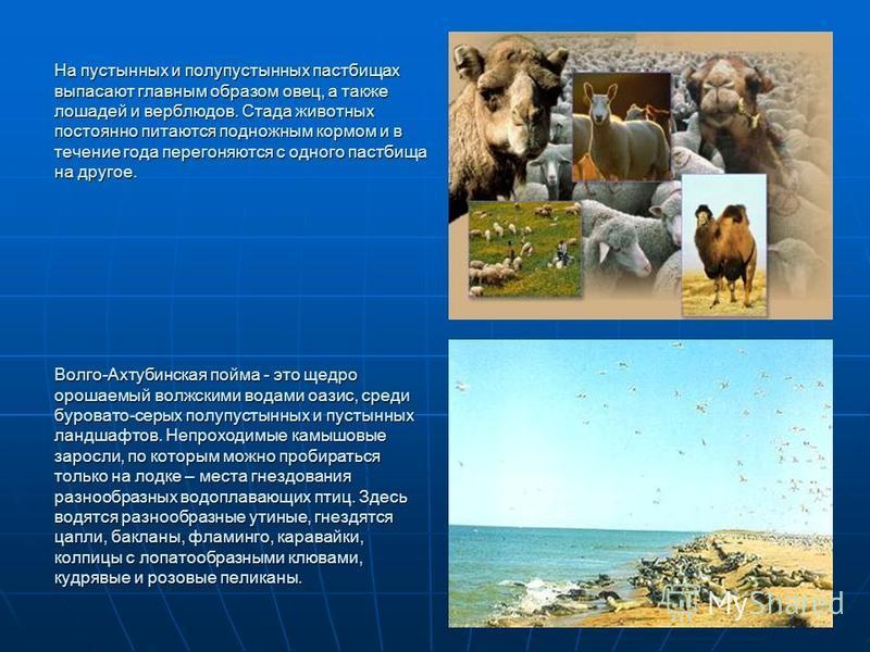 На пустынных и полупустынных пастбищах выпасают главным образом овец, а также лошадей и верблюдов. Стада животных постоянно питаются подножным кормом и в течение года перегоняются с одного пастбища на другое. Волго-Ахтубинская пойма - это щедро ороша