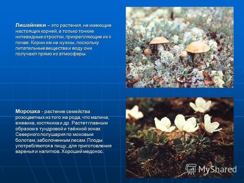 Лишайники – это растения, не имеющие настоящих корней, а только тонкие нитевидные отростки, прикрепляющие их к почве. Корни им не нужны, поскольку питательные вещества и воду они получают прямо из атмосферы. Морошка - растение семейства розоцветных и