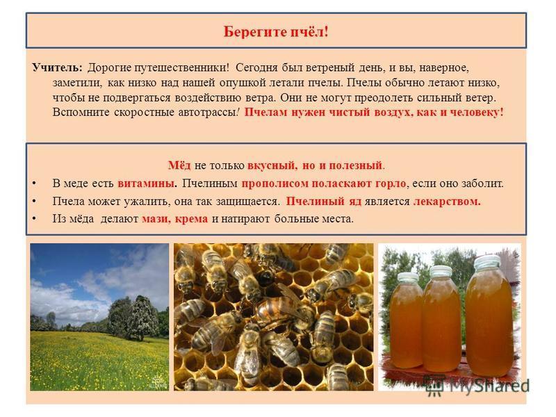 Берегите пчёл! Учитель: Дорогие путешественники! Сегодня был ветреный день, и вы, наверное, заметили, как низко над нашей опушкой летали пчелы. Пчелы обычно летают низко, чтобы не подвергаться воздействию ветра. Они не могут преодолеть сильный ветер.