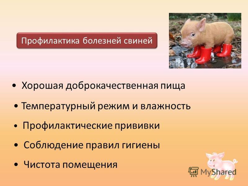 Хорошая доброкачественная пища Профилактика болезней свиней Температурный режим и влажность Соблюдение правил гигиены Чистота помещения Профилактические прививки