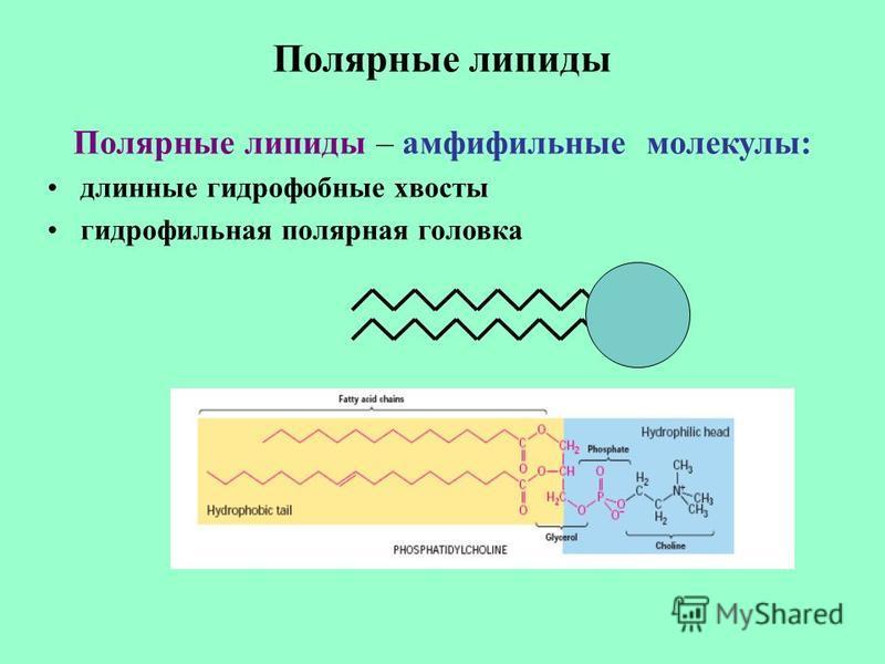 Полярные липиды Полярные липиды – амфифильные молекулы: длинные гидрофобные хвосты гидрофильная полярная головка