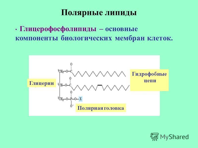 Полярные липиды Глицерофосфолипиды – основные компоненты биологических мембран клеток. Полярная головка Глицерин Гидрофобные цепи