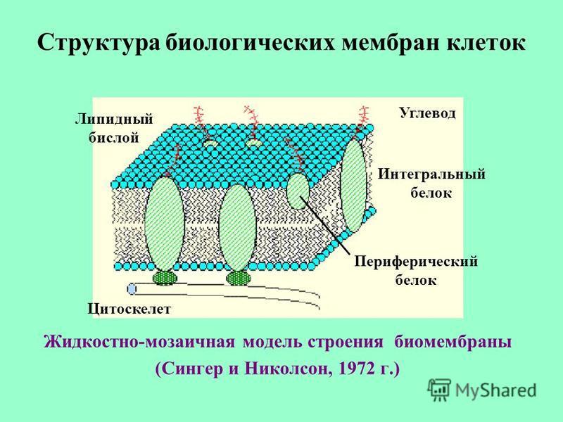 Структура биологических мембран клеток Жидкостно-мозаичная модель строения биомембраны (Сингер и Николсон, 1972 г.) Липидный бислой Углевод Интегральный белок Периферический белок Цитоскелет
