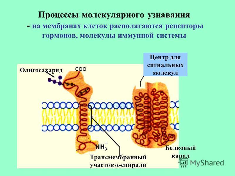Процессы молекулярного узнавания - на мембранах клеток располагаются рецепторы гормонов, молекулы иммунной системы Белковый канал Трансмембранный участок α-спирали Олигосахарид СОО Центр для сигнальных молекул