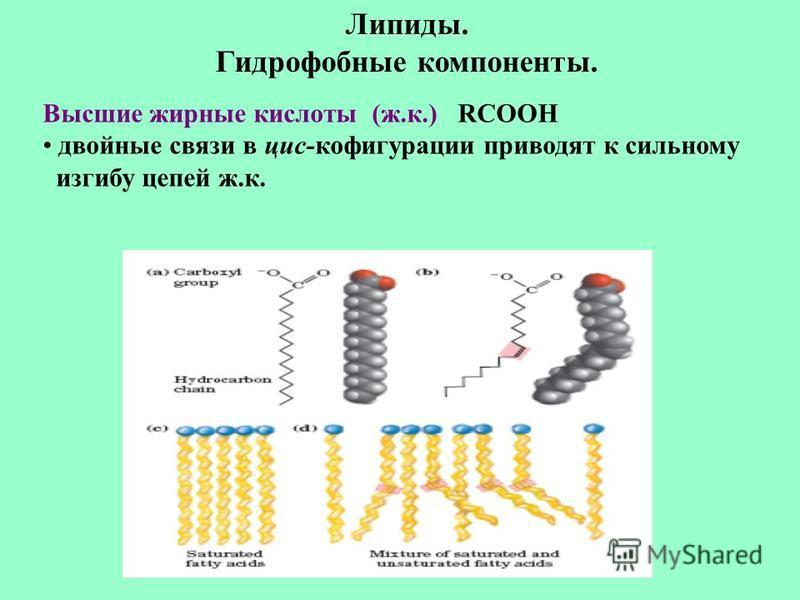 Липиды. Гидрофобные компоненты. Высшие жирные кислоты (ж.к.) RCOOH двойные связи в цис-конфигурации приводят к сильному изгибу цепей ж.к.
