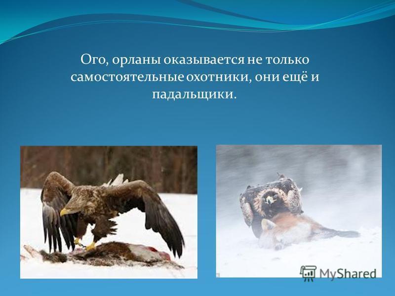 Ого, орланы оказывается не только самостоятельные охотники, они ещё и падальщики.