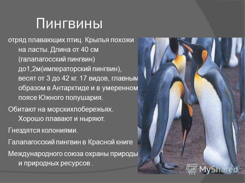 Пингвины отряд плавающих птиц. Крылья похожи на ласты. Длина от 40 см (галапагосский пингвин) до 1,2 м(императорский пингвин), весят от 3 до 42 кг. 17 видов, главным образом в Антарктиде и в умеренном поясе Южного полушария. Обитают на морских побере