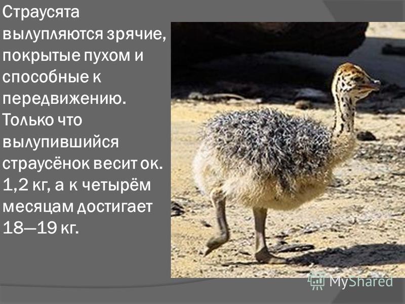 Страусята вылупляются зрячие, покрытые пухом и способные к передвижению. Только что вылупившийся страусёнок весит ок. 1,2 кг, а к четырём месяцам достигает 1819 кг.