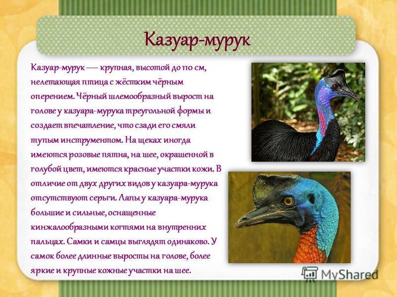 Казуар-мурку Казуар-мурку крупная, высотой до 110 см, нелетающая птица с жёстким чёрным оперением. Чёрный шламообразный вырост на голове у казкара-муркуа треугольной формы и создает впечатление, что сзади его смяли тупым инструментом. На щеках иногда