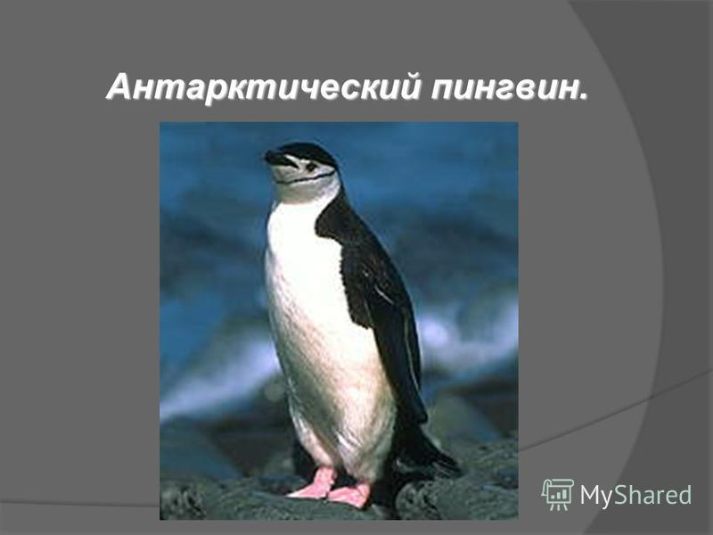 Антарктический пингвин.