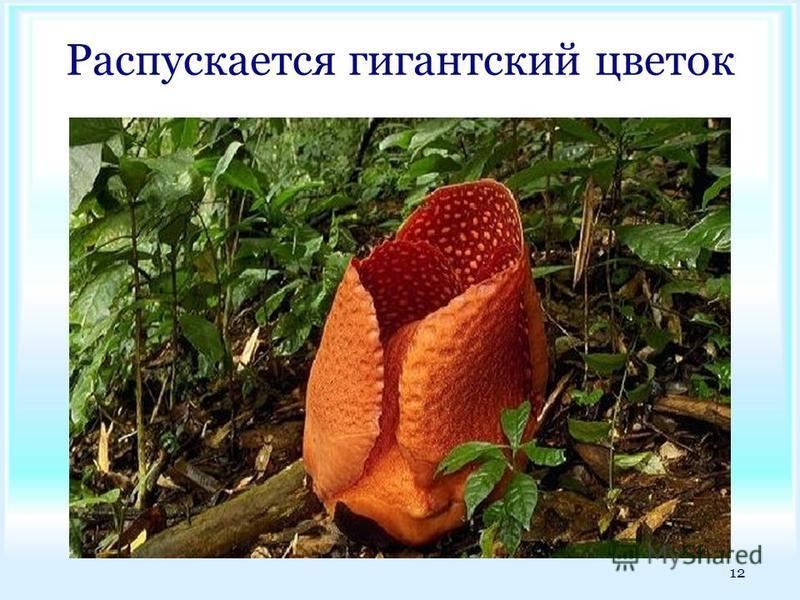 Распускается гигантский цветок 12