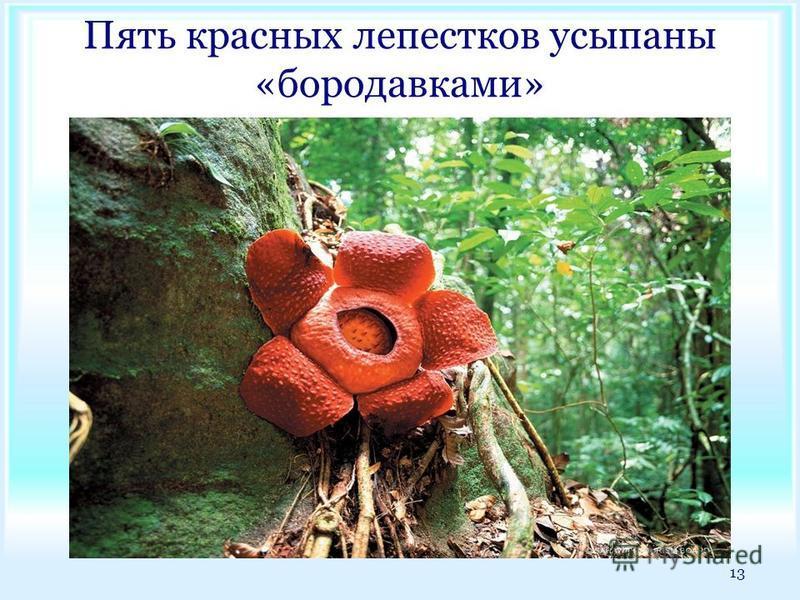 Пять красных лепестков усыпаны «бородавками» 13